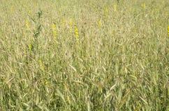 Alte erbe selvatiche di estate Fotografie Stock Libere da Diritti