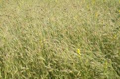 Alte erbe selvatiche di estate Fotografie Stock