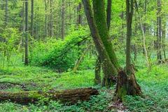 Alte Erlenbäume im Frühjahr Lizenzfreie Stockfotos