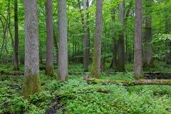 Alte Erlenbäume von Bialowieza-Wald Stockfotos