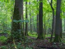 Alte Erlenbäume von Bialowieza-Wald Lizenzfreie Stockfotos