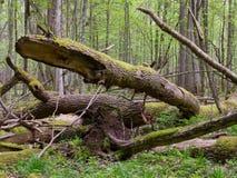 Alte Esche gebrochenes Lügen in springrtime Wald Stockfotos