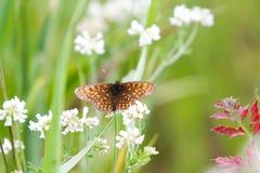 Alte farfalle del Fritillary del Brown sul fiore bianco Fotografia Stock Libera da Diritti
