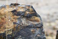 Alte Fossilien bei 15.000 Fuß des Aufzug-, Kordilleren Huayhuash, Peru Stockbilder