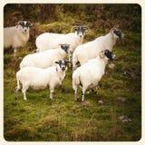 Alte Fotos der Schafe Stockfoto