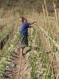 Alte Frau bindet Bambus. Stockbild