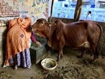 Alte Frau, die der Kuh Lebensmittel gibt Lizenzfreie Stockfotografie
