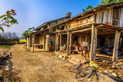 Alte Frau und ihr Viehbestand auf einem Bauernhof in Nepal Stockbilder