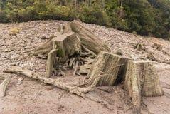 Alte gebürtige Baum-Stümpfe Stockfotos