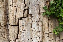 Alte gebrochene Baumrinde teilweise umfasst im Efeu, horizontal mit Kopienraum Lizenzfreie Stockfotos