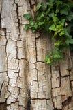 Alte gebrochene Baumrinde teilweise umfasst im Efeu, vertikal mit Kopienraum Lizenzfreie Stockbilder