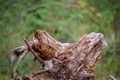 alte gebrochene Baumstümpfe im Wald im Sommer Stockfotografie