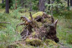 alte gebrochene Baumstümpfe im Wald im Sommer Lizenzfreies Stockbild