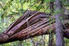 alte gebrochene Baumstümpfe im Wald im Sommer Lizenzfreie Stockfotografie