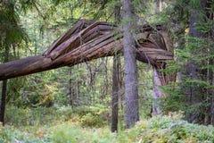 alte gebrochene Baumstümpfe im Wald im Sommer Stockfoto