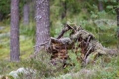 alte gebrochene Baumstümpfe im Wald im Sommer Lizenzfreie Stockfotos