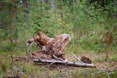 alte gebrochene Baumstümpfe im Wald im Sommer Stockfotos