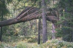alte gebrochene Baumstümpfe im Wald im Sommer - Weinlesefilmblick Lizenzfreie Stockbilder