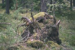 alte gebrochene Baumstümpfe im Wald im Sommer - Weinlesefilmblick Stockbilder