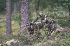 alte gebrochene Baumstümpfe im Wald im Sommer - Weinlesefilmblick Stockfoto