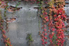 Alte gebrochene Wand mit Efeu Stockfotos