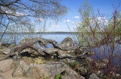 Alte gekrümmte Birke, die auf den Felsen wächst Park Monrepo Vyborg, Russland Stockbild