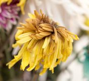 Alte gelbe Blume Stockbild