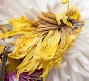 Alte gelbe Blume Lizenzfreies Stockbild