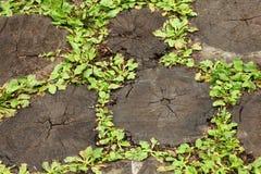 Alte geschwärzte Stümpfe des gefällten hellgrünen Grases. Stockbild