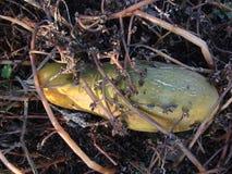 Alte geworfene gelbe Gurke im Garten lizenzfreies stockfoto