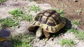 Alte griechische Schildkröte der Pfeifenjahre oder die Schildkröte der hermannÂs, isst Steine stock footage