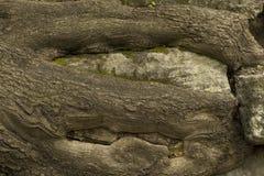 Alte große Baumwurzeln auf den Felsen Stockfotografie
