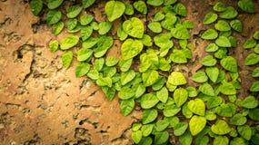 Alte grungy Steinwand mit grünen Blättern. Stockbild