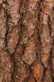 Alte hölzerne Barkenbeschaffenheit oder -hintergrund Rote Kiefer Lizenzfreies Stockfoto