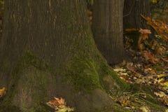 Alte hölzerne Baumkruste mit grünem Moos Lizenzfreies Stockbild