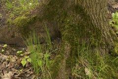 Alte hölzerne Baumrinde mit grünem Moos Lizenzfreie Stockbilder