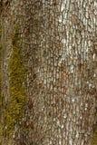 Alte hölzerne Baumrindebeschaffenheit mit grünem Moos Stockfotografie