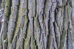 Alte hölzerne Baumrindebeschaffenheit mit grünem Moos Lizenzfreie Stockfotos