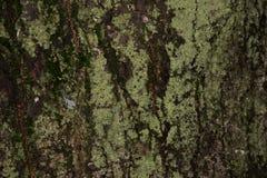 Alte hölzerne Baumrindebeschaffenheit mit grünem Moos, Baumrinde Stockfotografie