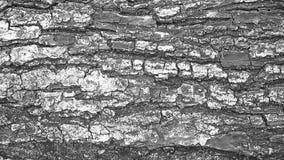 Alte hölzerne Baumrindeschwarzweiss-beschaffenheit als Hintergrund Stockbilder