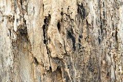 Alte hölzerne Beschaffenheit der Baumrinde, Baumrinde mit Zerfall Stockbild