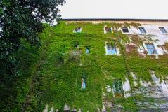 Alte Hausmauer mit Reben Stockfoto