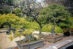 Alte japanische Bonsais, Tokyo, Japan Lizenzfreies Stockfoto