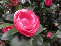Alte japanische Kulturvarietät von Kamelie japonica Blume Die Blumen sind Rot beschmutzt mit Weiß Stockbilder