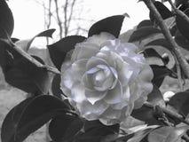 Alte japanische Kulturvarietät von Kamelie japonica Blume Künstlerische Darstellung Lizenzfreie Stockfotografie