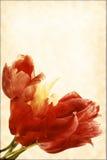Alte Karte der Weinlese mit einem Blumenstrauß der Tulpen Stockfotos