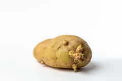 Alte Kartoffel Lizenzfreie Stockfotos