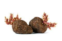 Alte Kartoffeln mit den Sprösslingen lokalisiert auf weißem Hintergrund Stockfoto