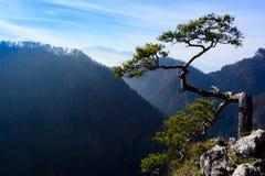 Alte Kiefer auf Spitze des Berges Stockfoto