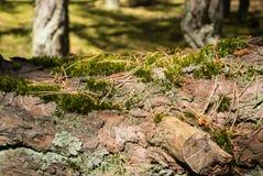 Alte Kiefernbarkenbeschaffenheit umfasst mit Moos, eine Großaufnahme zu einem Kiefernstamm im Wald von Curonian-Spucken Lizenzfreie Stockbilder